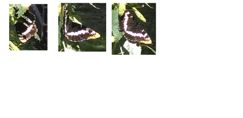 A Washington Butterfly