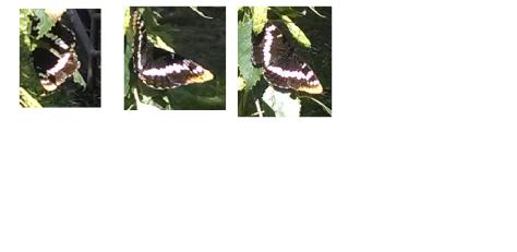 A Washington Butterfly