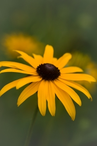 A Black-eyed Susan in Ohio